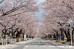 "Photo shows a street famed for having one of Japan's longest cherry blossom ""tunnels"" in the Yonomori area of Tomioka Town, Fukushima Prefecture, Japan on Wednesday 20 April  2011. Usually lively with party-goers at this time of the year, the streets of the town, which is located just a few miles from the leaking Fukushima No. 1 nuclear power plant, are deserted..Photographer: Robert Gilhooly"