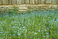 Forget-Me-Nots grow in profusion at the side of an old barn along the limestine rock foundation