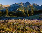 Mount Rainier National Park,  WA  <br /> Afternoon sun on the Tatoosh Range with fields of alpine wildflowers on Mt. Rainier's Mazama ridge