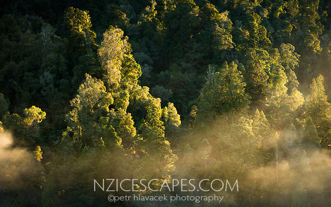 Native forest at Okarito River on misty frosty morning, Westland Tai Poutini National Park, West Coast, UNESCO World Heritage Area, New Zealand, NZ