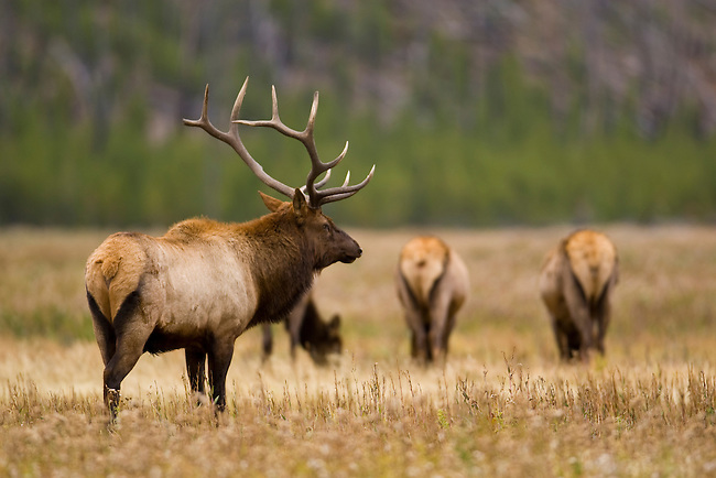 A Bull elk watches over his harem of cows. Some are seen in the background. Yellowstone National Park, Wyoming, USA, October 4, 2007.  Photo by Gus Curtis