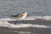 A Sanderling at the beach pn Galveston Island