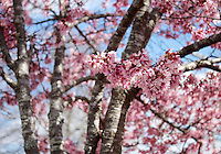 Stock photo - Pink cherry blossom flower branches with blue sky in background.