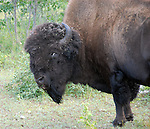 Wood Bison on Great Slave Lake