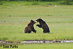 Subadult grizzly bears playing. Yellowstone National Park, Wyoming.