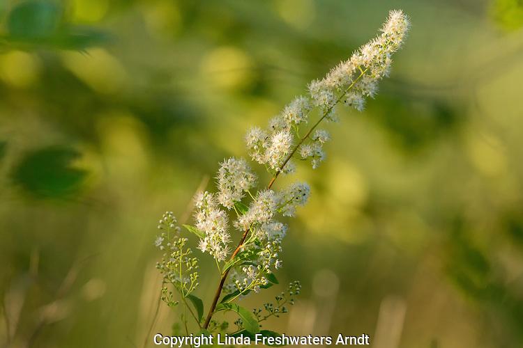 white meadowsweet