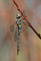 339300009 a wild male california darner rhionaeschna californica perches on a plant stem near an irrigation channel in inyo county california