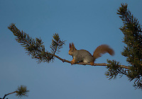 Red squirrel, Sciurus vulgaris, Finland, winter, on twig, blue sky