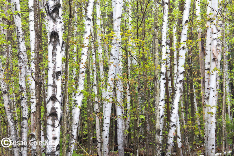 White birches in spring in the White Mountain National Forest, New Hampshire, USA