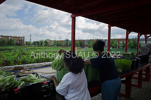 Chicago, Illinois<br /> July 8, 2014<br /> <br /> The Legends farm on the south side of Chicago. The farm is part of the Windy City Harvest program at the Chicago Botanic Gardens and managed by 22 year old Darius Jones.