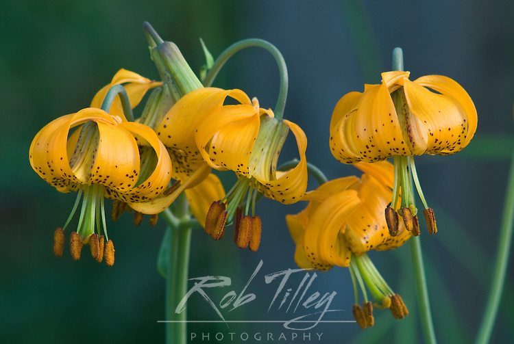 USA, WA, Olympic NP, Columbia Lily (Lilium columbianum)