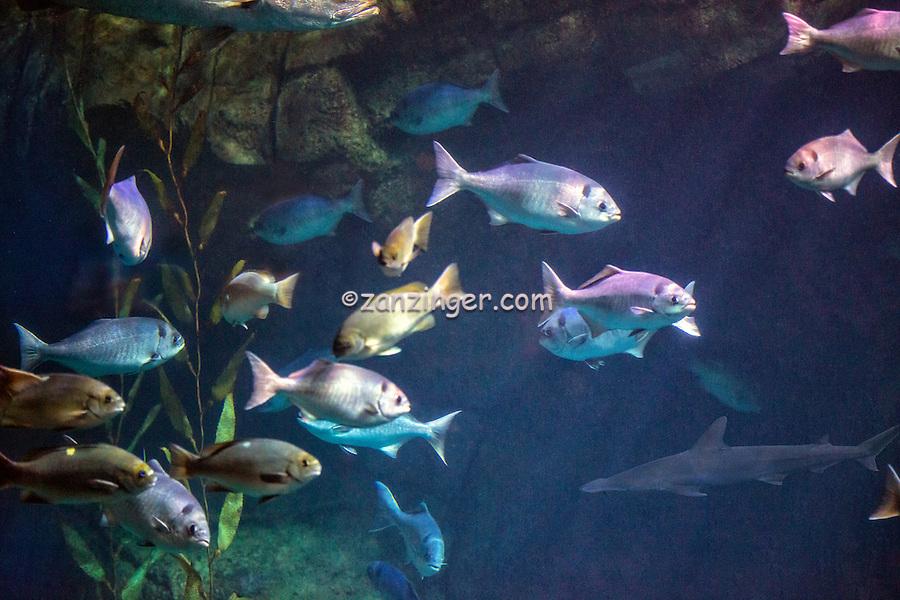 The Aquarium of the Pacific,  public aquarium,  Shoreline Village, Exhibit inhabitants and seascapes of the Pacific, Rainbow Harbor in Long Beach, California, United States