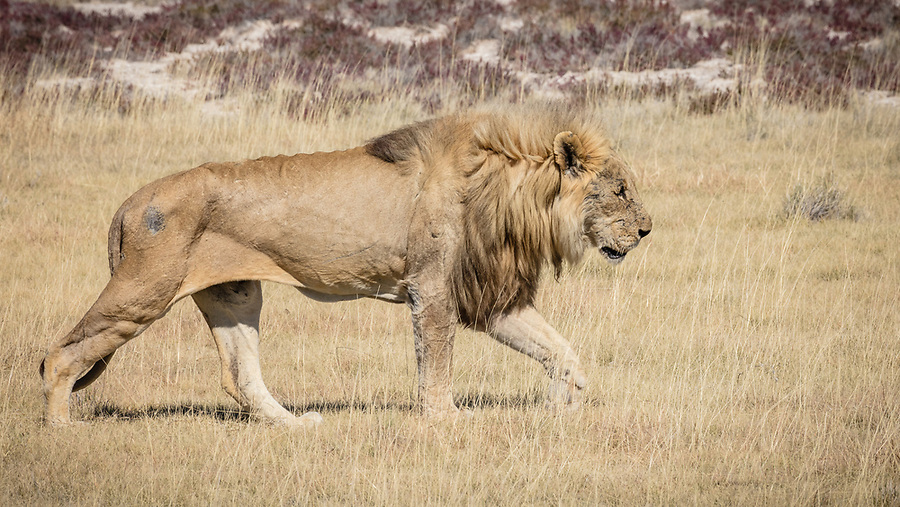 A Scarred And Skinny Male Heads Towards Water.
