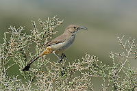 581970031 a wild lecontes thrasher toxostoma lecontei perches in a chapparal plant near maricopa in kern county california