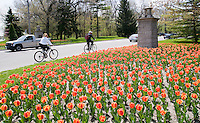 Tulips greet visitors at the Canatara Park entrance off Christina Street.