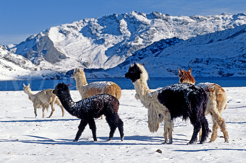 A herd of snow dusted ALPACAS pass by LAGUNA JATUN PUCACOCHA - AUZANGATE TREK, PERUVIAN ANDES