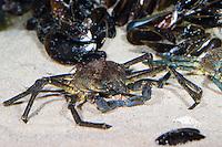 Atlantische Seespinne, Nordische Seespinne, Kleine Seespinne, Hyas araneus, Atlantic lyre crab, great spider crab, toad crab