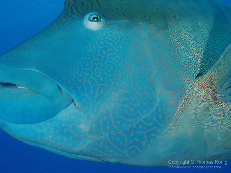 Blue Corner, Palau -- Close-up of a Napoleon Wrasse (Cheilinus undulatus).<br /> Napoleon wrasses are the largest wrasses and can grow over 2 m long! The intricate maze-like markings on their head are very beautiful. They are an endangered species in many areas due to overfishing.