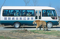 China. Province of Heilongjiang. Harbin. Siberia Tiger Park. A bus with chinese tourists who take pictures and videos of a tiger. © 2004 Didier Ruef