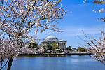 The Jefferson Memorial And Cherry Trees In Full Bloom on a Sunny Spring Day in Washington DC, USA