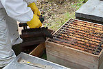 smoking the hive prior to Inspecting a comb. .Bee keeping course at Monkton Wylde, Dorset.  Course leader is David Wiscombe.