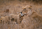 African lion and cubs, Kruger National Park, South Africa