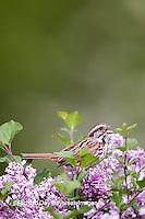 01575-01905 Song Sparrow (Melospiza melodia)  singing on Dwarf Korean Lilac Bush (Syringa meyeri 'Palibin'), Marion Co., IL