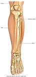 Normal Anatomy of the Left Lower Leg Bones. Includes tibia, fibula, femur, patella, ankle and foot bones.