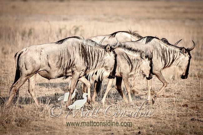Image of a small group of migrating wildebeest walking across savanna, reminiscent of prehistoric rock paintings, Kenya, Africa  (photo by Wildlife Photographer Matt Considine)