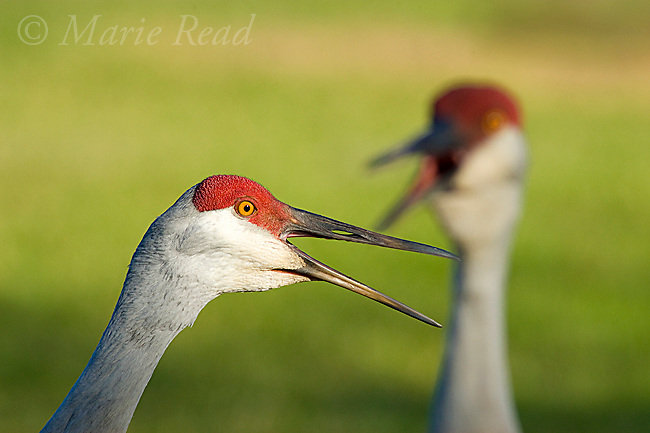 Sandhill Cranes (Grus canadensis), Florida race, close-up of two adults calling, Kissimmee. Florida, USA