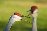 Florida Sandhill Crane