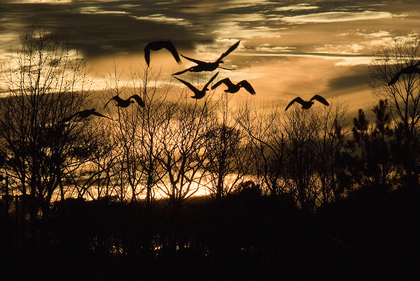 Geese take flight from the pond at the south side entrance to Ocean Pines, Maryland.