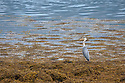 Grey Heron (Ardea cinerea) hunting amongst seawedd at low tide. Isle of Mull, Scotland, UK. June.