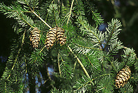 Douglas Fir Pseudotsuga menziesii Pinaceae Height to 60m<br /> Tall, slender, conical evergreen. Bark Greyish-green, often blistered. Branches in whorls. Needles to 3.5cm long, grooved above, with 2 white bands below. Reproductive parts Male flowers small and yellow. Female flowers resemble tiny pinkish shaving-brushes. Both sexes grow at tips of twigs. Status Native of W North America. Widely planted here for timber; thrives in Scotland.