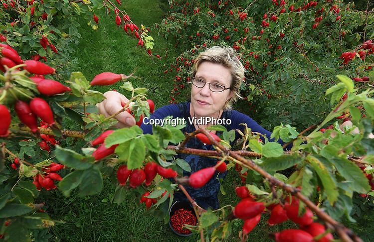 Foto: VidiPhoto<br /> <br /> WIJK BIJ DUURSTEDE - Bij de enige rozenbotteltelers van Nederland, Eric Hees en Emmelie Moerkoert in Wijk bij Duurstede, worden woensdag de eerste rozenbottels geoogst. Op topdagen worden ze geholpen door meer dan 25 vrijwilligers. Het plukken is een tijdrovende bezigheid. De rozenbottelgaard is ruim een hectare groot en levert zo'n 1000 kilo biologische rozenbottels voor diverse Nederlandse toprestaurants en voedingsspecialisten, die het als puree (colis) in gerechten verwerken of er chutney of jam van maken. Ook aan huis verkopen Hees en Moerkoert deze producten. De Nederlandse rozenbottels nemen bij consumenten in populariteit flink toe ten opzichte van de Chinese concurrentie, met doordat ze niet bespoten zijn en vanwege het uitzonderlijk hoge gehalte aan vitamine C. Door de vele zonuren is de oogst dit jaar flink groter dan de afgelopen jaren. De eerste en -nu nog- enige rozenbottelgaard van Nederland dateert uit de jaren vijftig en was ooit 20 ha. groot. Door de komst van vervangende vitamine C-bronnen in de bekende Roosvice nam de belangstelling voor het relatief duurdere Nederlandse product af. Foto: Emmelie Moerkoert oogst de eerste rozenbottels.