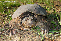 0611-0910  Snapping Turtle, Chelydra serpentina  © David Kuhn/Dwight Kuhn Photography