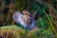 Male Ruffed Grouse (Bonasa umbellus) drumming--springtime mating/territorial display.  Pacific Northwest.  March/April.