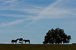 Horses in a field on Highway 41 west of Ocala, Florida.    (Mark Wallheiser/TallahasseeStock.com)
