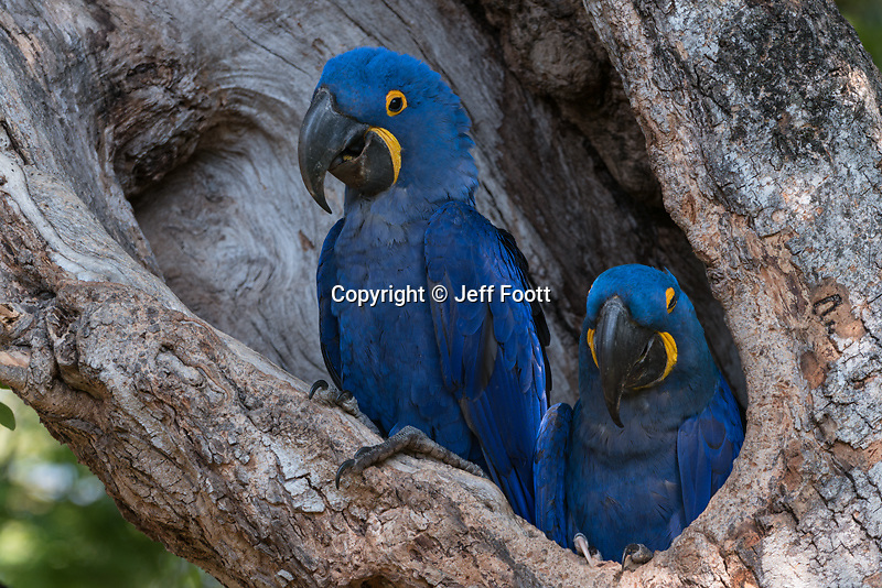 Hyacinth Macaws, (Anodorhynchus<br />