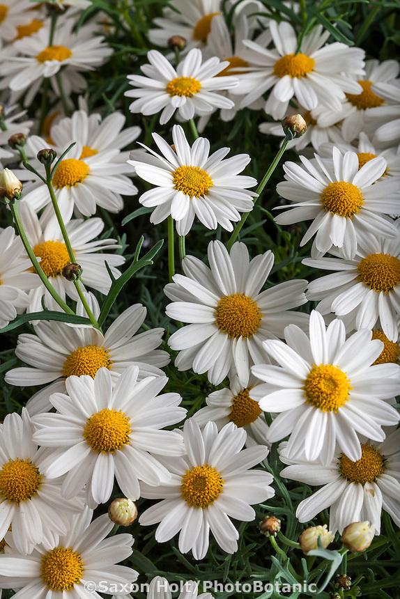 Sassy® White, Argyranthemum frutescens - Syngenta Flowers