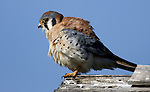 American Kestrel.Falco sparverius.at the Bolsa Chica Ecological Reserve.Huntington Beach, Ca. January 14, 2008. Fitzroy Barrett