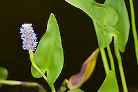 Herzförmiges Hechtkraut, Pontederia cordata, Pickerel Weed, Pickerelweed