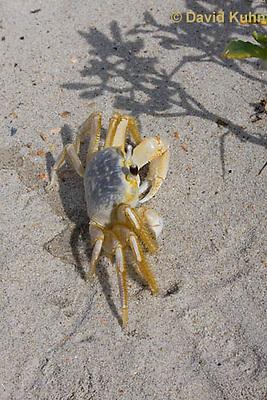 0604-0902  Ghost Crab (Sand Crab) on Beach at Outer Banks in North Carolina, Ocypode quadrata  © David Kuhn/Dwight Kuhn Photography