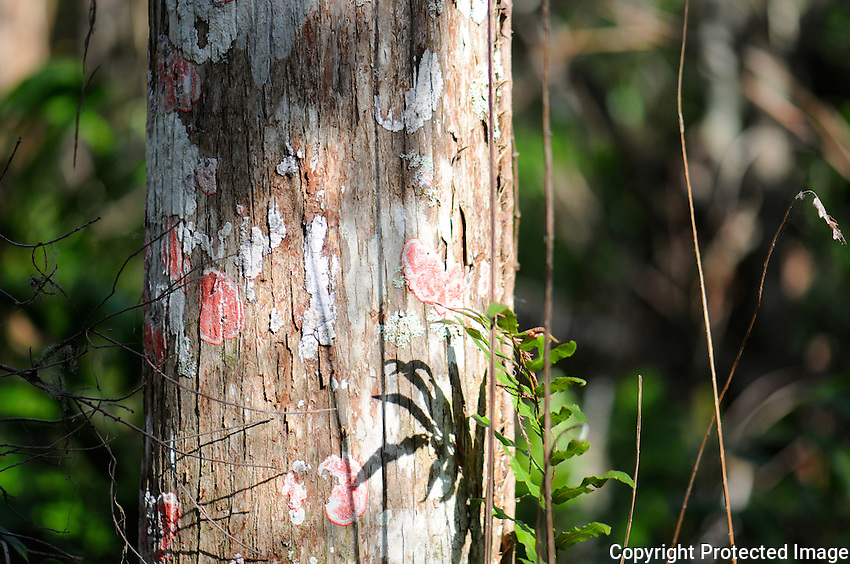 Baton Rouge ( Red ) lichen on Cypress Tree located in Arthur Marshall Loxahatchee Preserve Cypress Swamp, boynton Beach, Florida.