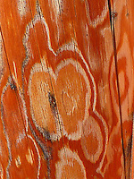 Heart shapped design etched in a Ponderosa trunk.