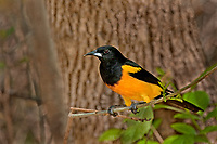 561860015 a rare texas songbird visitor a black-vented oriole icterus weglari perches on a tree limb at bentsen state park hidalgo county texas united states