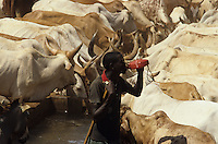 Borana cows at well