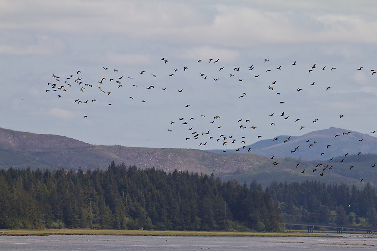Willapa Bay, migrating geese, Pacific County, Southwest Washington, Washington State, Pacific Northwest, USA,