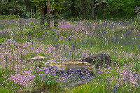 Flowering wildflower meadow wiht rock outcrop - Camassia Nature Preserve, The Nature Conservancy protected park, Portland Oregon