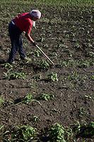 ROMANIA Banat, village Semlac, organic herbs farming, Topinambur / RUMAENIEN Banat, Dorf Semlac, Bio Heilkraeuteranbau, Landwirte Christina und Rado Tomuth, Topinambur Anbau